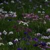 花しょうぶ祭り-3