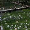 花しょうぶ祭り-7