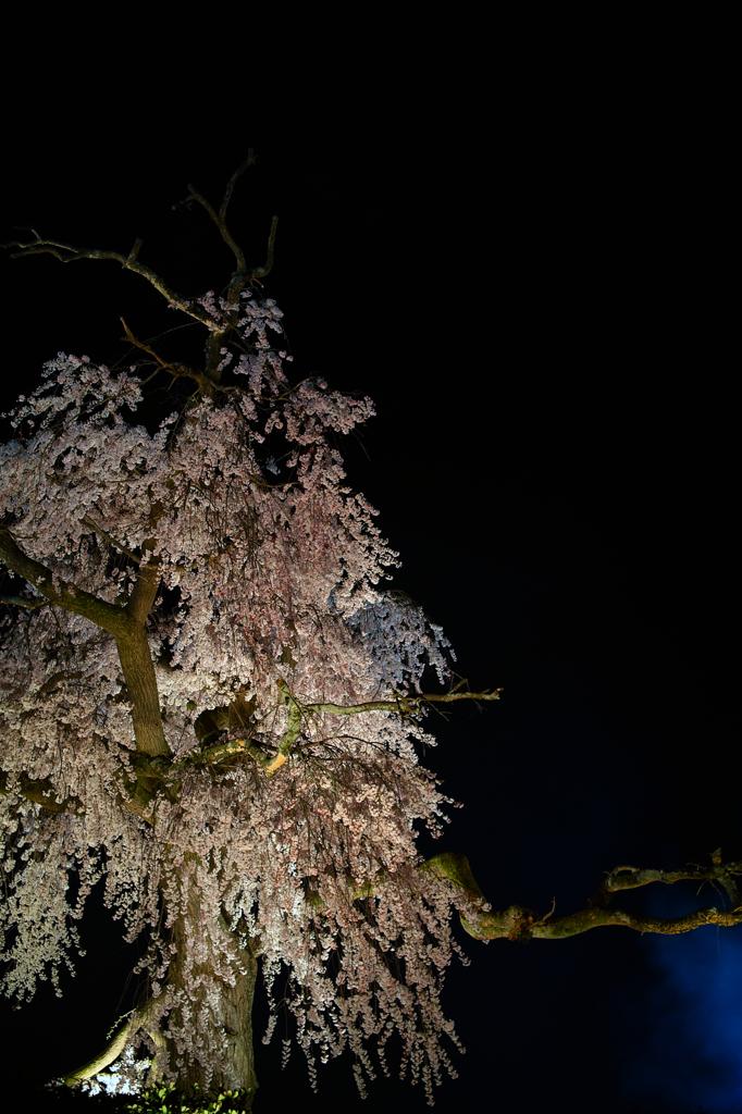 円山公園 夜桜5