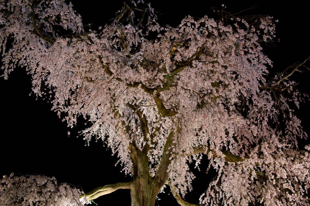 円山公園 夜桜2