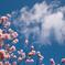 桜 空 雲