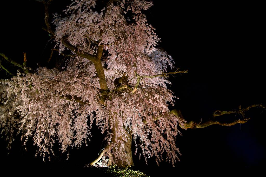 円山公園 夜桜4