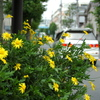 道路沿いの黄色い花