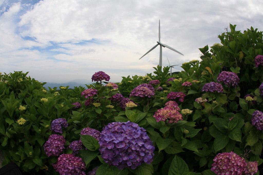 風車と紫陽花