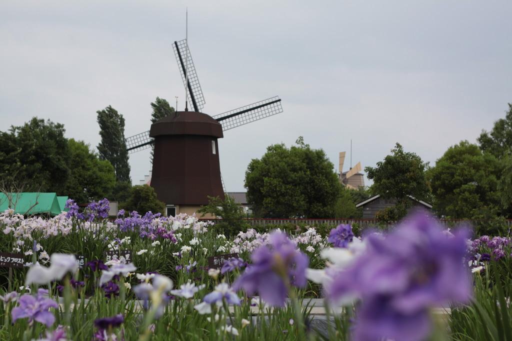 花菖蒲と風車