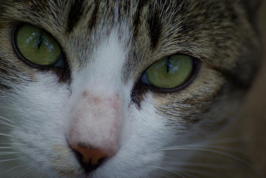 猫の顔面UP