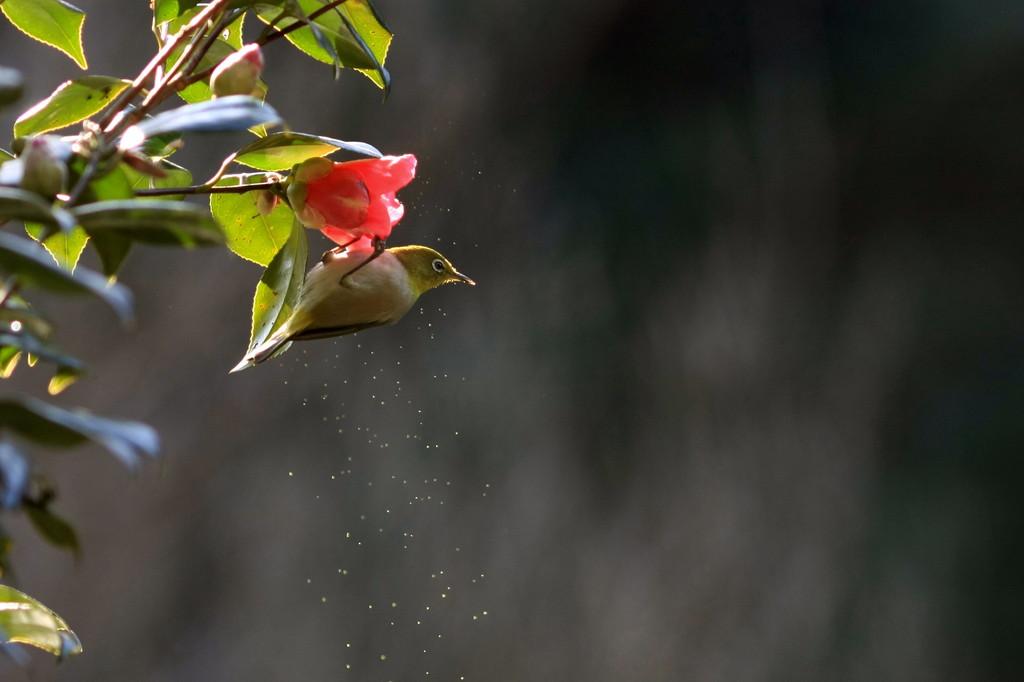 花粉メジロ