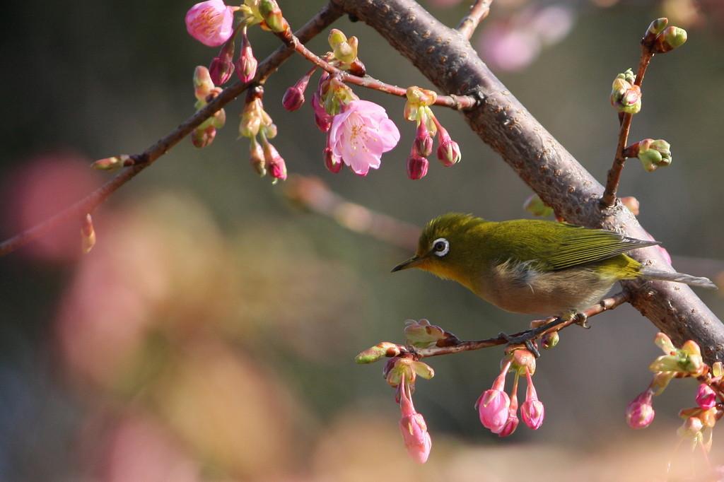 野鳥図鑑・河津桜とメジロ