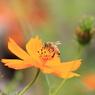 CANON Canon EOS 50Dで撮影した動物(コスモスとハチ)の写真(画像)