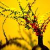 雪柳と輪生梅