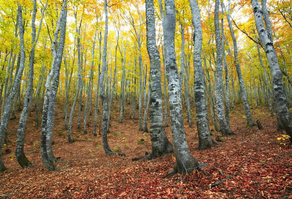 ブナ林秋景-岩木山