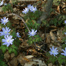CANON Canon EOS-1DSで撮影した植物(森の妖精)の写真(画像)