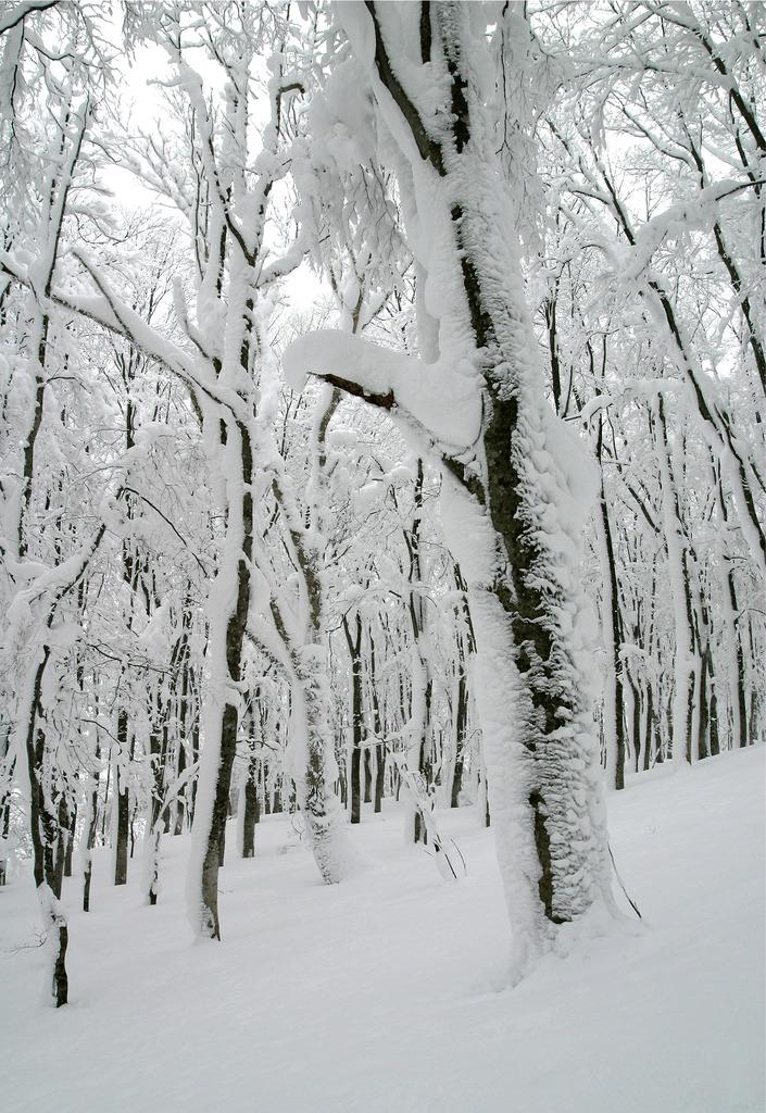 ブナ林冬景