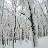 CANON Canon EOS-1DSで撮影した風景(ブナ林冬景)の写真(画像)