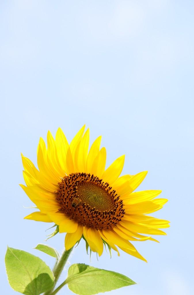 太陽と蜜蜂とひまわりと。