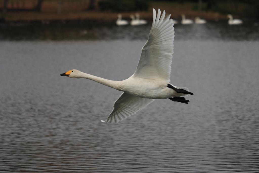 白鳥初撮り!