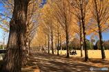 公園の秋 - 銀杏並木 -