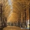 公園のイチョウ並木Ⅱ