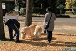 公園の秋 - ゴールデンリトリバー -