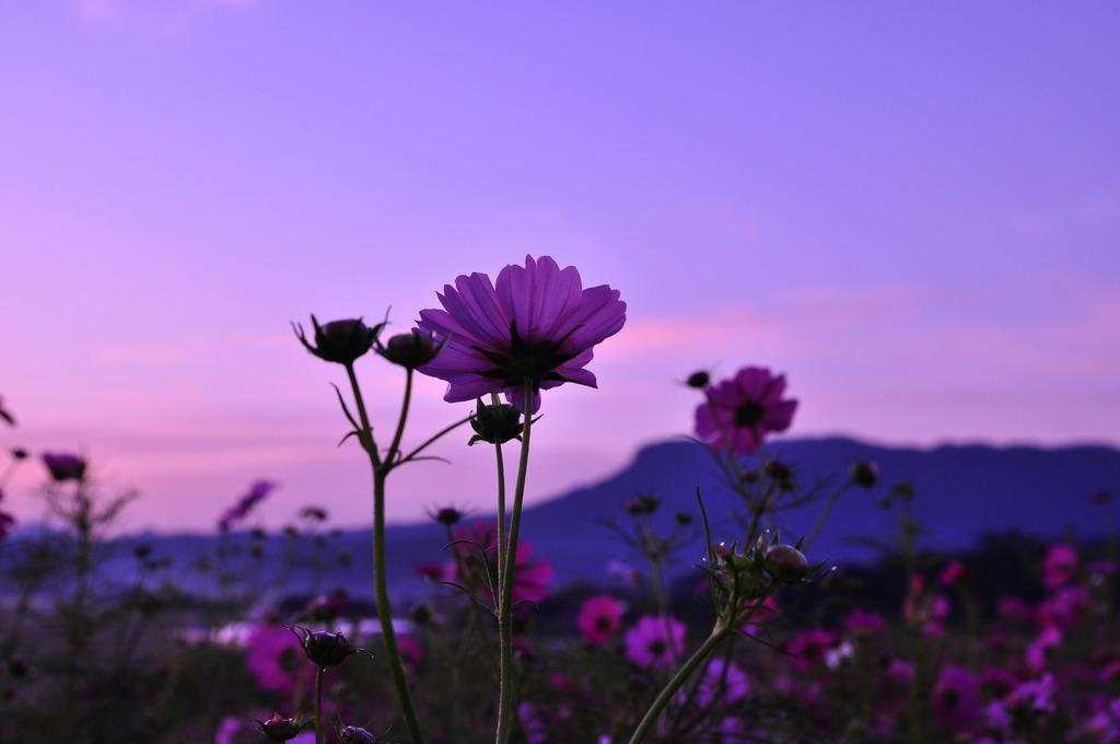 八面山コスモス