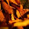 SONY DSLR-A200で撮影した植物(秋の木の葉)の写真(画像)