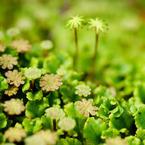 SONY DSLR-A200で撮影した植物(苔たち)の写真(画像)