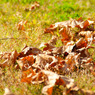 SONY DSLR-A200で撮影した植物(落ち葉)の写真(画像)