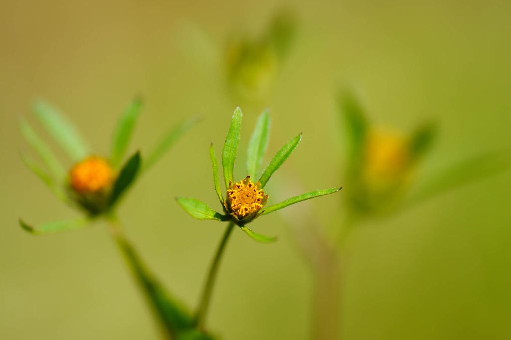 黄緑のボケ