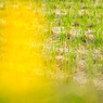 SONY DSLR-A200で撮影した風景(10月の田んぼ)の写真(画像)