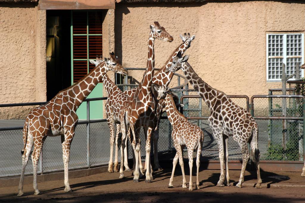 キリンの家族