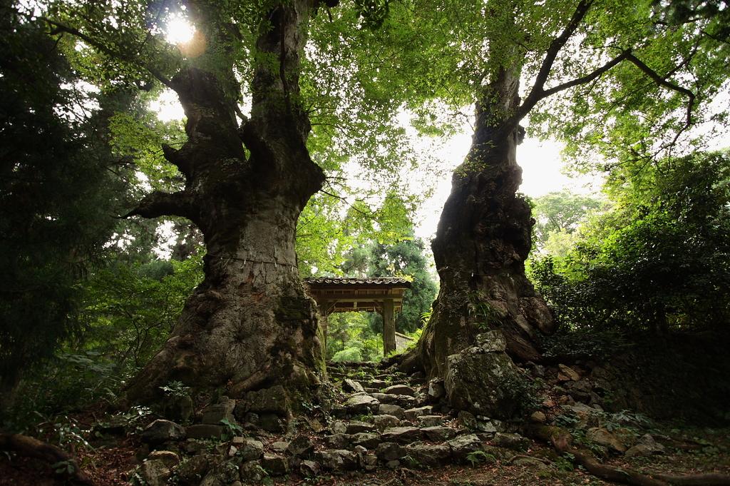 樹齢千年…