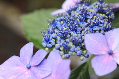 雨上がりの額紫陽花