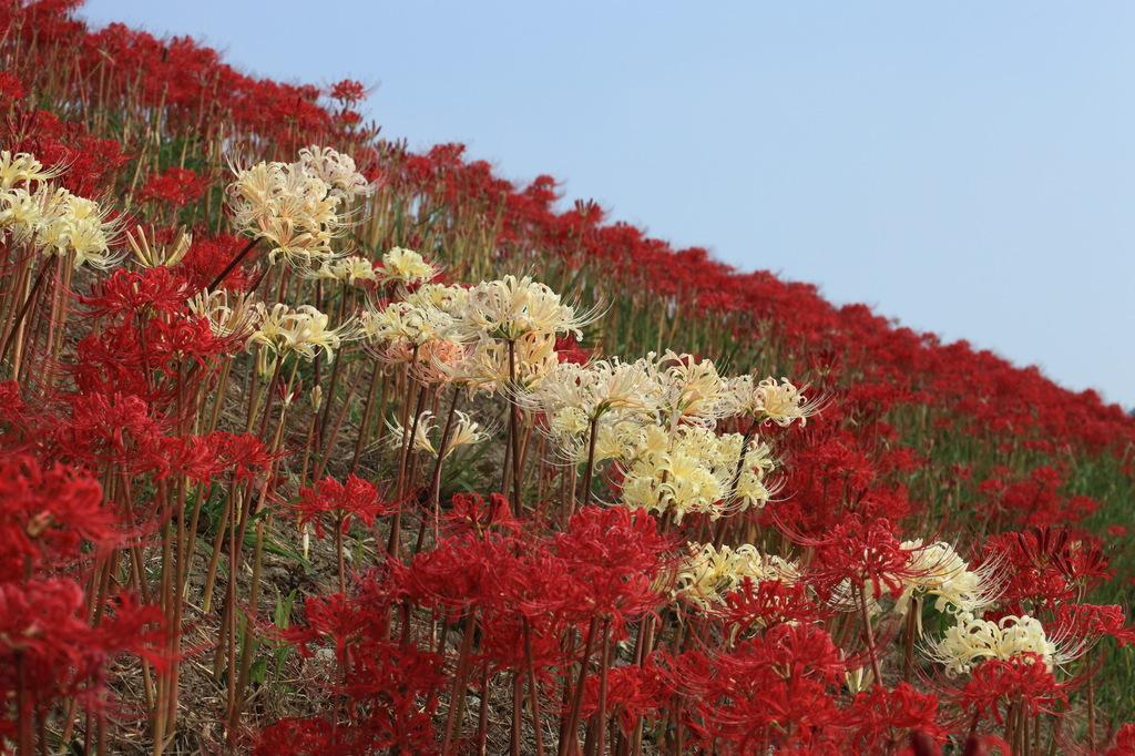 紅白の絨毯