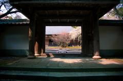 散る桜と鐘楼門