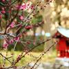 春めく紅梅