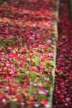 バラの絨毯