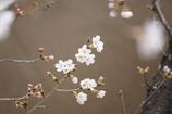 桜 開花 その2