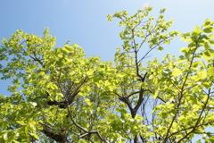 新緑の候 柿の葉