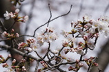 桜 開花 その3