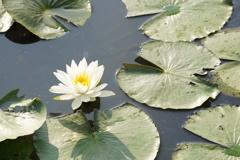 蓮池のハス 白