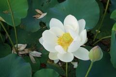 白いハス 王子蓮