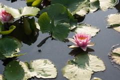 蓮池のハス 赤