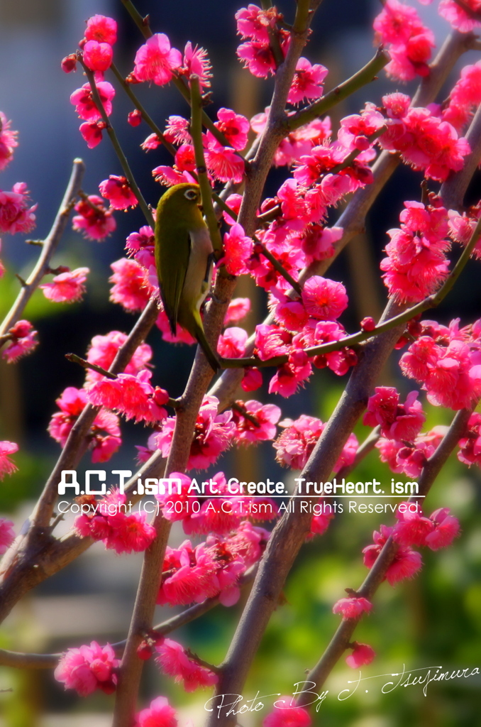 Plum-Blossom & White-Eye Ⅳ