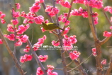 Plum-Blossom & White-Eye Ⅰ