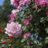 薔薇 - 庄堺公園