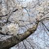 桜 -2018-