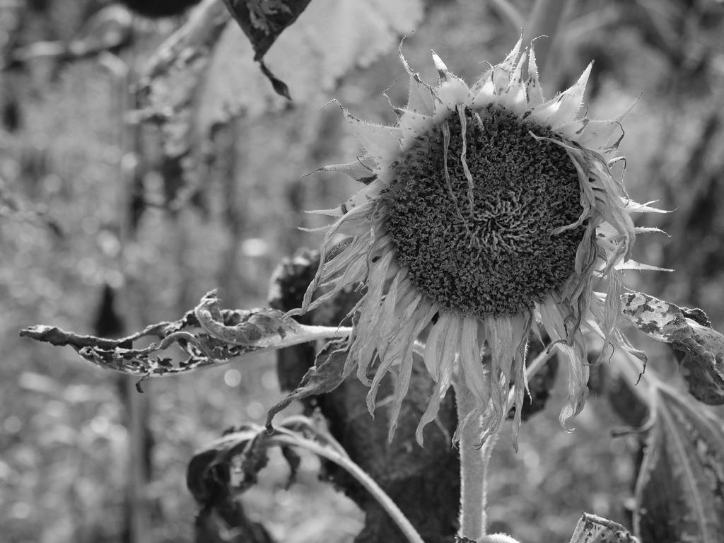 落ち武者向日葵。