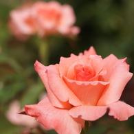 SONY DSLR-A900で撮影した植物(チェリッシュ (Rosa Cherish))の写真(画像)