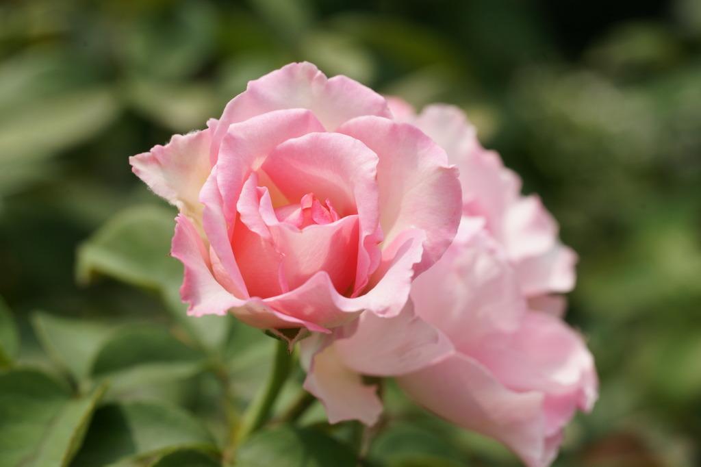 桜貝 (Rosa Sakuragai)