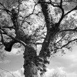 空を掴む木